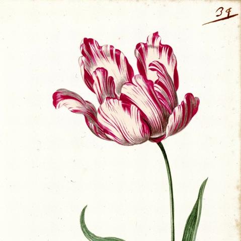 Tulipan Semper Augustus